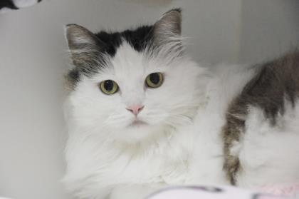 Hello! My name is Maksa. I'm a six-year-old domestic longhair mix looking for a peaceful home. A place all to myself with some caring adults would be the perfect space for me to blossom. Make an appointment to meet me today!<p></p>