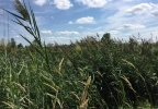Phragmites grass in Allouez.JPG