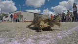 Loup County Fair embraces the unpredictable with turtle races