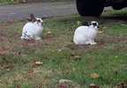 Feral rabbits in Vancouver's Ogden neighborhood - Photo from KATU's Keaton Thomas - 5.jpg