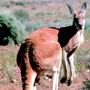 Rogue kangaroo caught twice in 3 days in SC